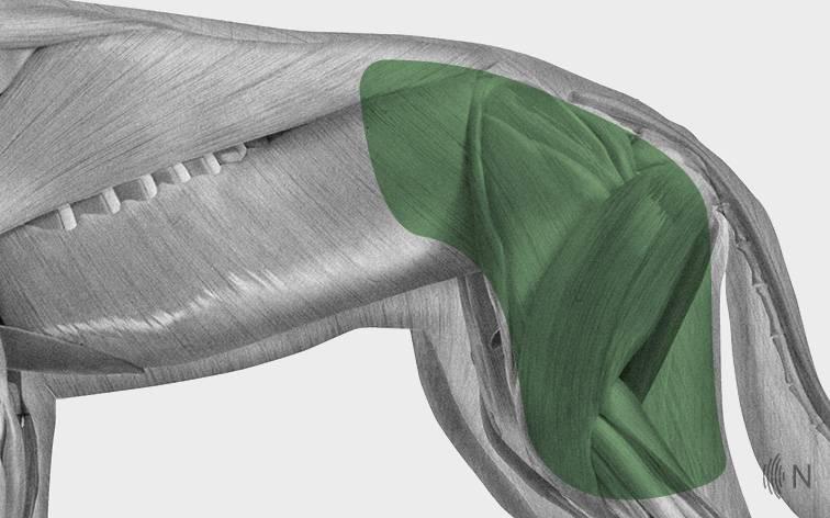 media/image/Bilder_Behandlungen_Anatomie_Hund_Extremit-ten_H-fte_2.jpg