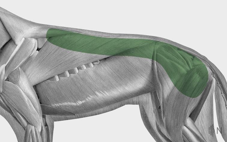 media/image/Bilder_Behandlungen_Anatomie_Hund_R-cken_Myofaszial_2.jpg