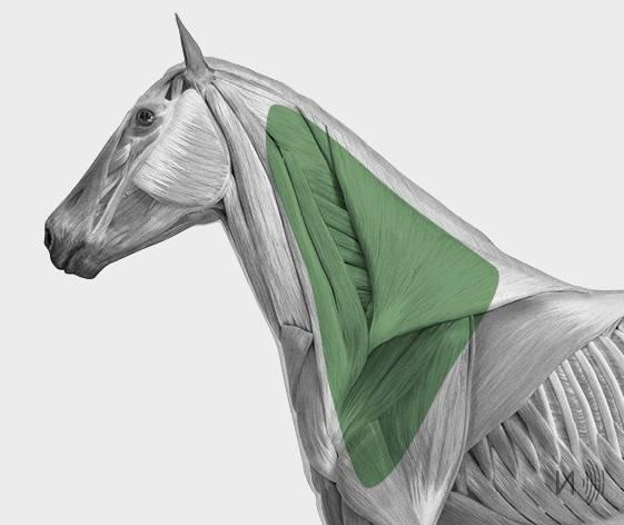 media/image/Bilder_Behandlungen_Anatomie_Pferd_Kopf_Myofaszial_2-1.jpg