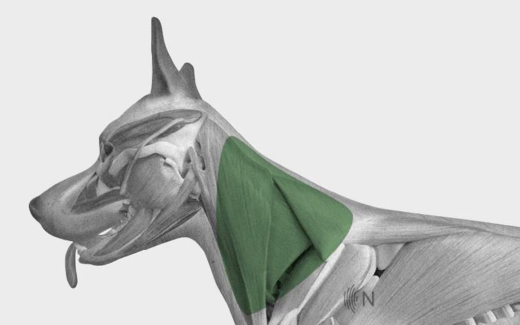 media/image/Bilder_Behandlungen_Anatomie_Hund_Kopf_Myofaszial_2.jpg