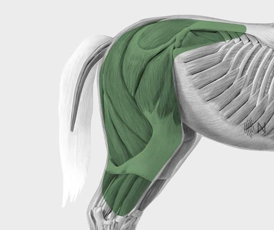 media/image/Bilder_Behandlungen_Anatomie_Pferd_Hinterhand_Defizite_2.jpg
