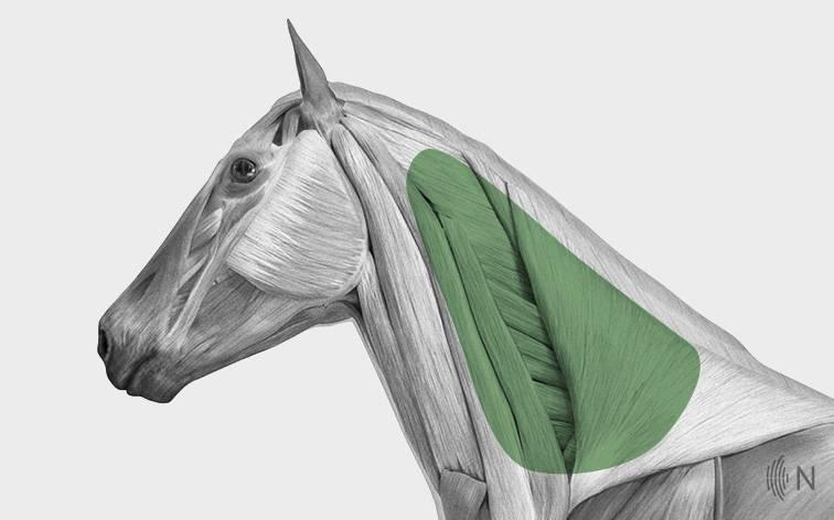media/image/Bilder_Behandlungen_Anatomie_Pferd_Kopf_Nackenband.jpg