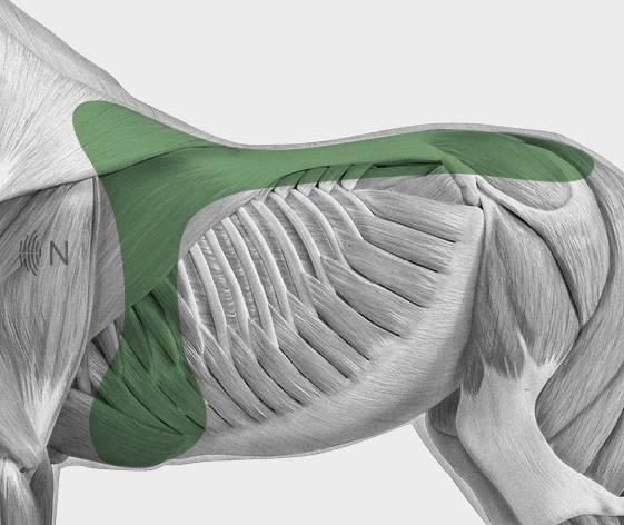 media/image/Bilder_Behandlungen_Anatomie_Pferd_R-cken_Sattellage_2.jpg