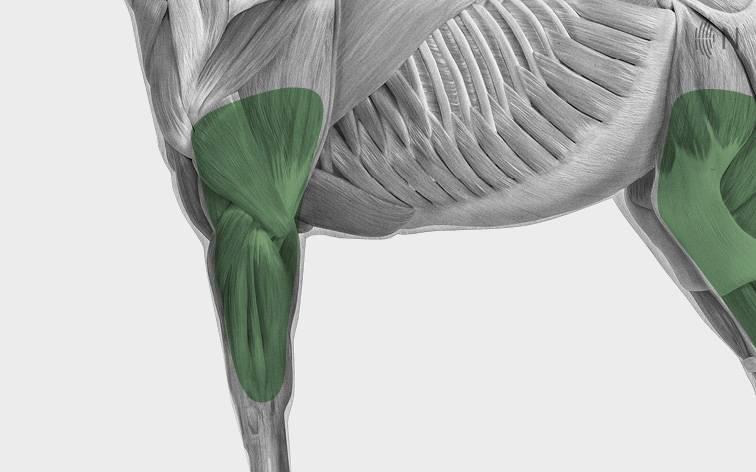 media/image/Bilder_Behandlungen_Anatomie_Pferd_Extremit-ten_Sehnen.jpg