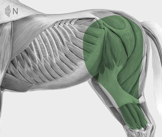 media/image/Bilder_Behandlungen_Anatomie_Pferd_Hinterhand_Knie_2.jpg