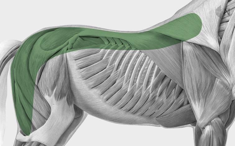 media/image/Bilder_Behandlungen_Anatomie_Pferd_R-cken_Myofaszial.jpg