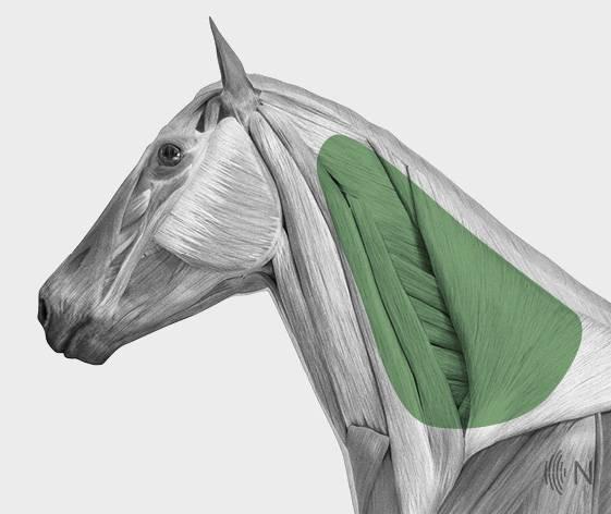 media/image/Bilder_Behandlungen_Anatomie_Pferd_Kopf_Nackenband_2.jpg