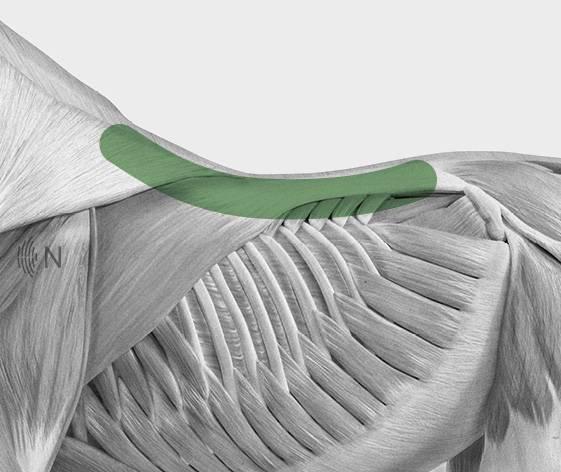 media/image/Bilder_Behandlungen_Anatomie_Pferd_R-cken_KissingSpines_2.jpg