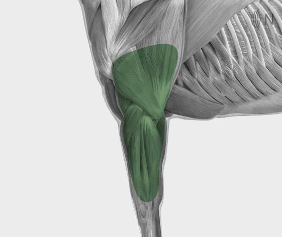 media/image/Bilder_Behandlungen_Anatomie_Pferd_Extremit-ten_Sehnen_2.jpg