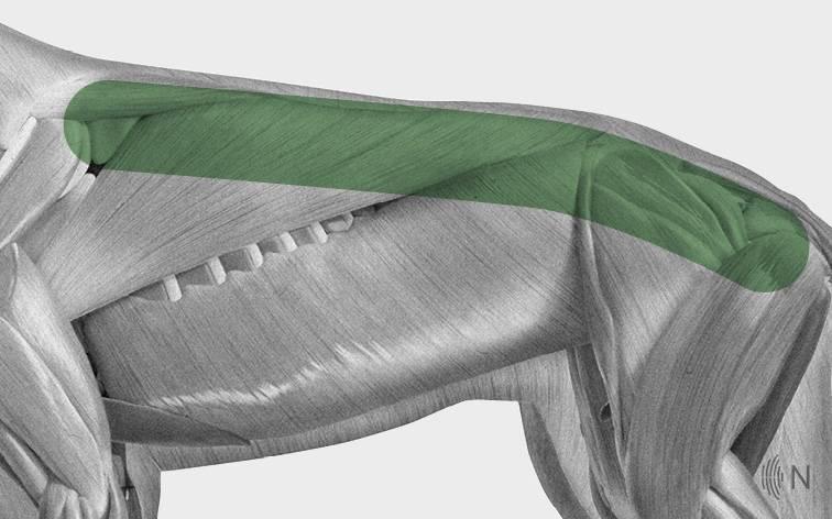 media/image/Bilder_Behandlungen_Anatomie_Hund_R-cken_Spondylose_2.jpg