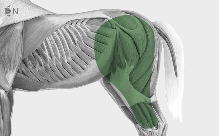 media/image/Bilder_Behandlungen_Anatomie_Pferd_Hinterhand_Knie.jpg