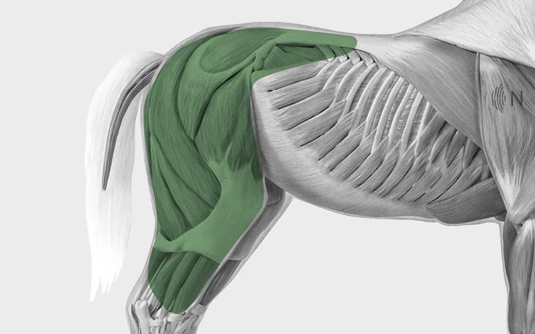 media/image/Bilder_Behandlungen_Anatomie_Pferd_Hinterhand_Defizite.jpg