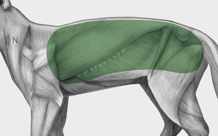 media/image/Bilder_Behandlungen_Anatomie_Katze_Muskelverpannung_Myofaszial_2.jpg