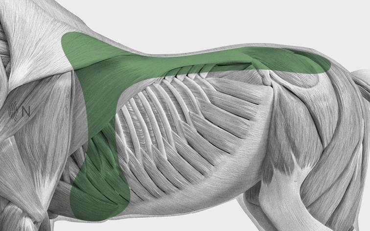 media/image/Bilder_Behandlungen_Anatomie_Pferd_R-cken_Sattellage.jpg