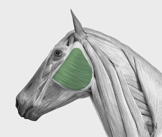 media/image/Bilder_Behandlungen_Anatomie_Pferd_Kopf_Kiefer_2.jpg