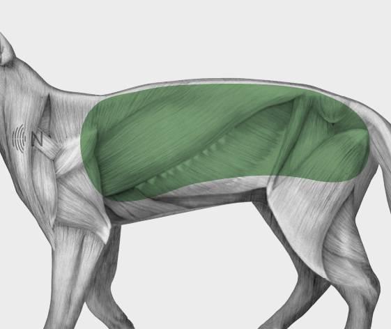 media/image/Bilder_Behandlungen_Anatomie_Katze_Muskelverpannung_Myofaszial.jpg