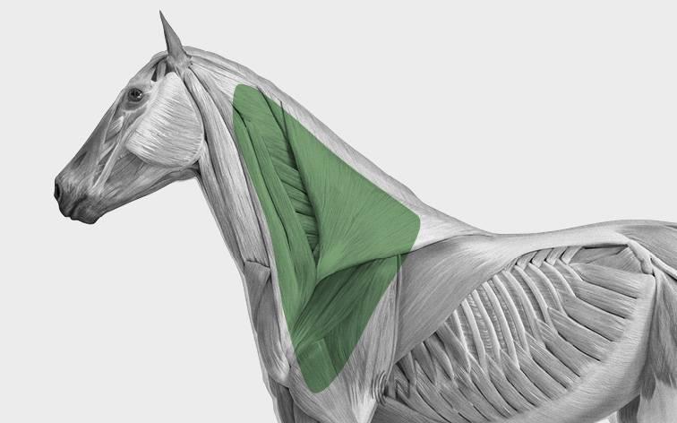 media/image/Bilder_Behandlungen_Anatomie_Pferd_Kopf_Myofaszial.jpg