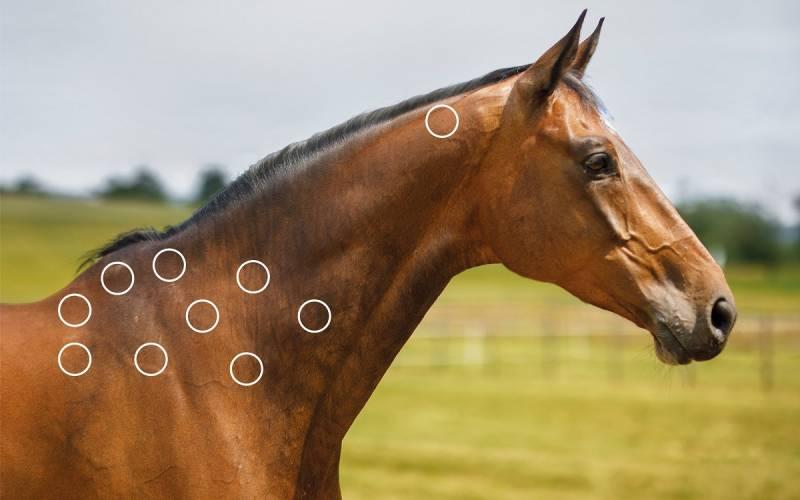 Stresspunkte am Kiefer beim Pferd mit dem NOVAFON behandeln