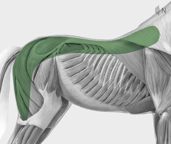 media/image/Bilder_Behandlungen_Anatomie_Pferd_R-cken_Myofaszial_2.jpg