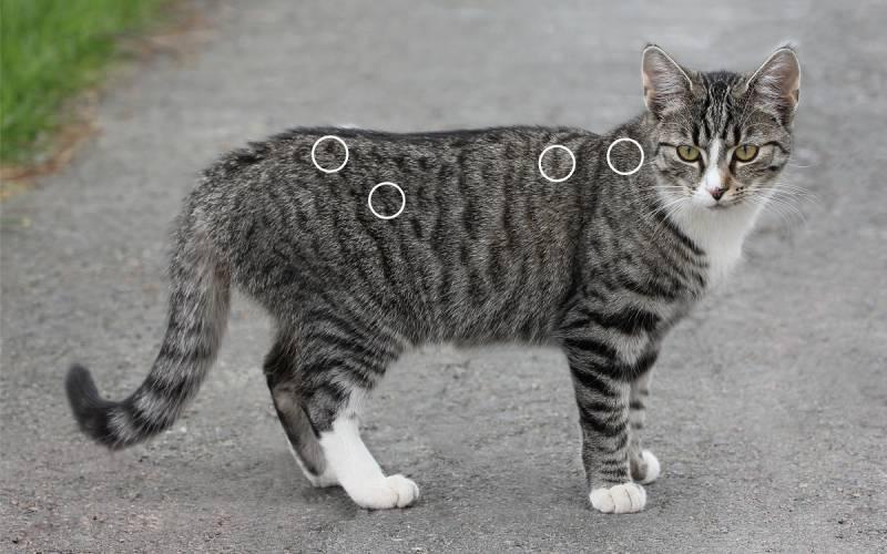 Spondylose bei Katzen mit dem NOVAFON behandeln