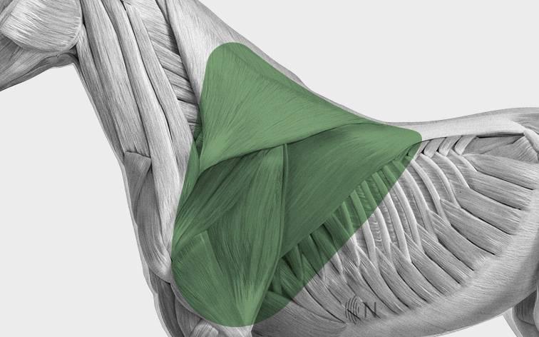 media/image/Bilder_Behandlungen_Anatomie_Pferd_Schulter_Myofaszial.jpg