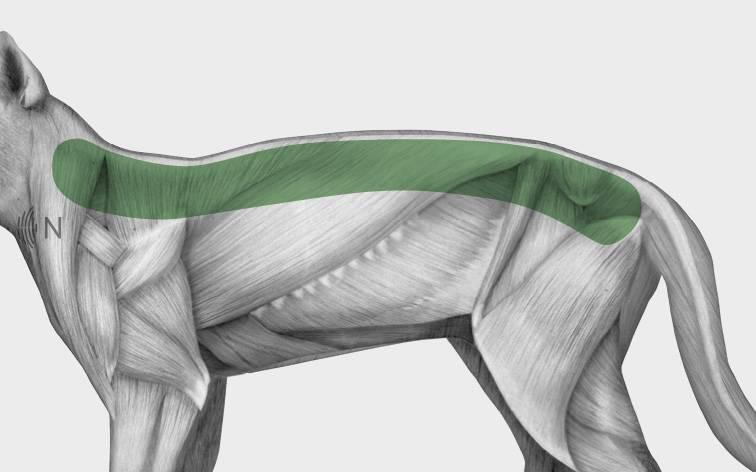 media/image/Bilder_Behandlungen_Anatomie_Katze_R-cken_Spondylose_2.jpg