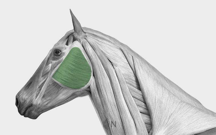 media/image/Bilder_Behandlungen_Anatomie_Pferd_Kopf_Kiefer.jpg