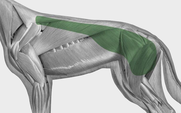 media/image/Bilder_Behandlungen_Anatomie_Hund_R-cken_DLLS_2.jpg